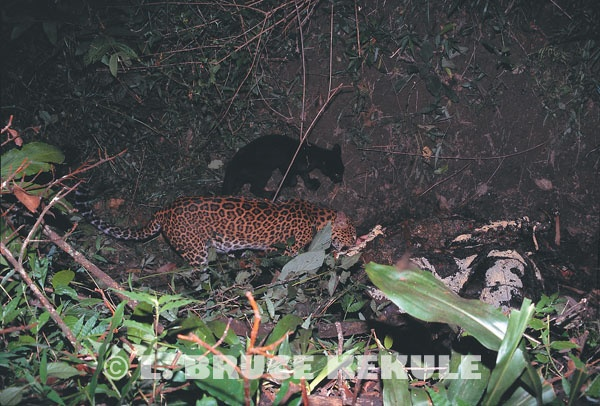 Leopards camera-trapped on kill in Huai Kha Khaeng Wildlife Sanctuary, West Thailand