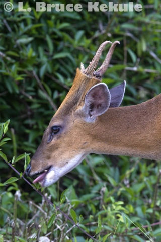 Common muntjac - barking deer