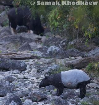 Asian tapir and gaur in Huai Kha Khaeng Wildlife Sanctuary
