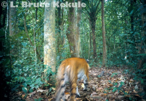 Indochinese tiger abstract in Kaeng Krachan