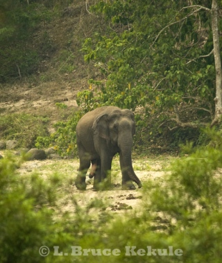 Asian elephant - tuskless bull