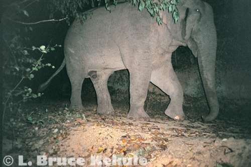 Tuskless bull elephant in Kaeng Krachan