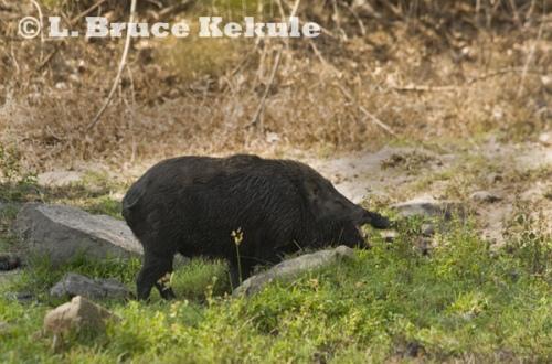 Wild boar after wallowing in mud