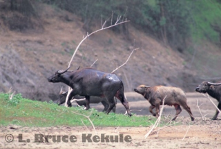 Wild water buffalo herd in Huai Kha Khaeng Wildlife Sanctuary