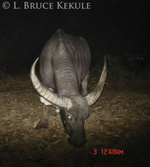 Wild water buffalo camera-trapped in Huai Kha Khaeng