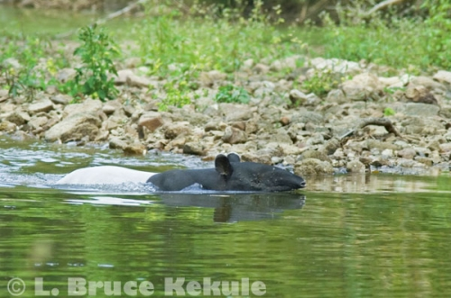 Asian tapir swimming in the Phetchaburi River