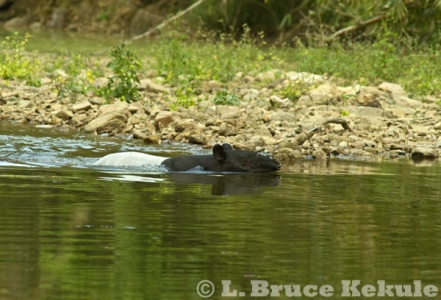 Asian Tapir in the Phetchaburi River