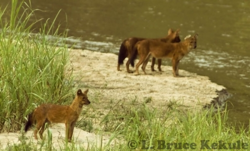 Asian wild dogs in Huai Kha Khaeng