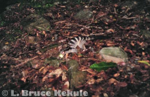 Banded palm civet in Kaeng Krachan