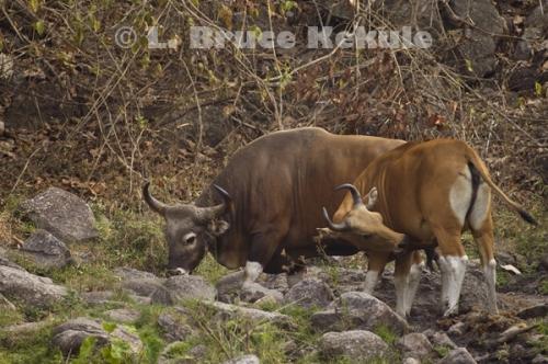 Banteng bull and cow at a waterhole in Huai Kha Khaeng