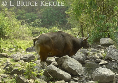Banteng bull covered in forest flies