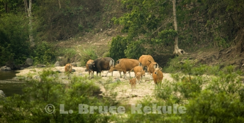 Banteng herd on a sandbar in Huai Kha Khaeng