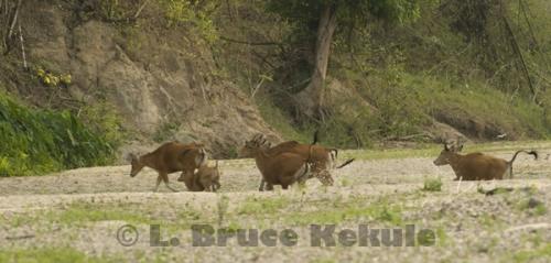 Banteng herd running on a sandbar in Huai Kha Khaeng