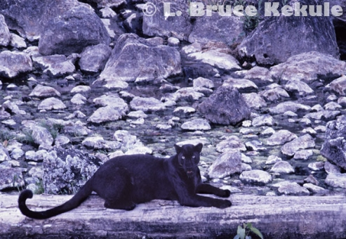 Black leopard at a hot spring