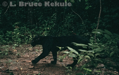 Black leopard camera-trapped in Kaeng Krachan