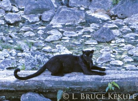 Black leopard in Huai Kha Khaeng