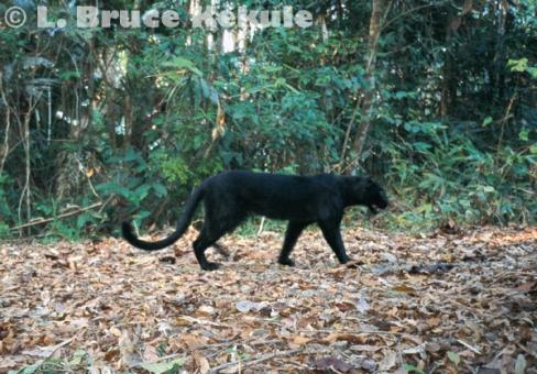 Black leopard camera trapped in Kaeng Krachan