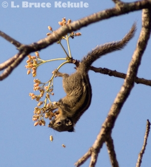 Burmese striped squirrel in Huai Kha Khaeng