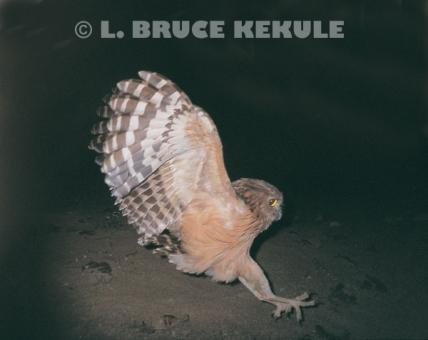 Buffy fish-owl in Kaeng Krachan Nationa Park