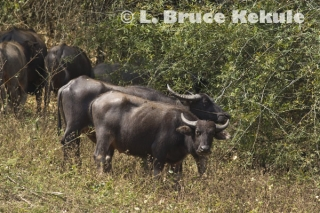 Domestic buffalo in Huai Kha Khaeng Wildlife Sanctuary, Western Thailand