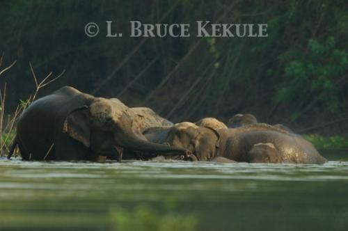 Wild elephant herd in Huai Kha Khaeng