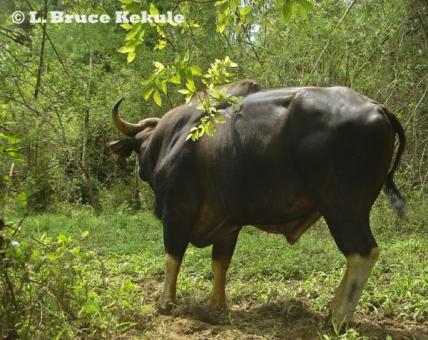 Gaur bull in Thung Yai Naresuan Wildlife Sanctuary
