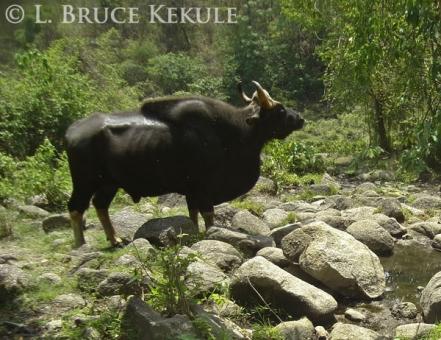 Gaur bull camera-trapped in Huai Kha Khaeng