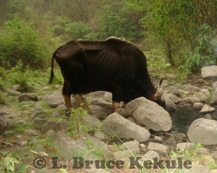 Gaur bull at a waterhole in Huai Kha Khaeng Wildlife Sanctuary, Western Thailand