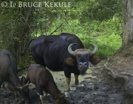 Gaur cow and calves camera-trapped in Kaeng Krachan