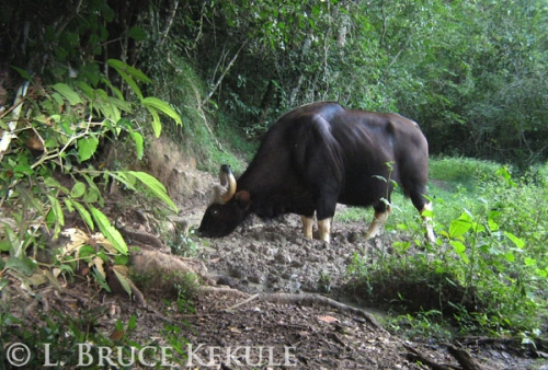 Gaur cow at a mineral lick in the park