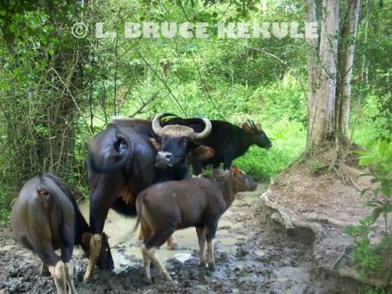 Gaur-herd