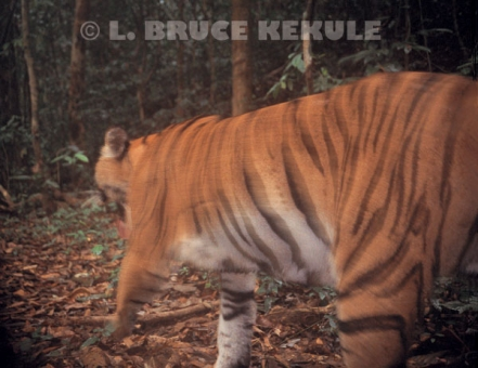 An indochinese tiger on the prowl camera=trapped by the Phetchaburi River in Kaeng Krachan National Park, west Thailand