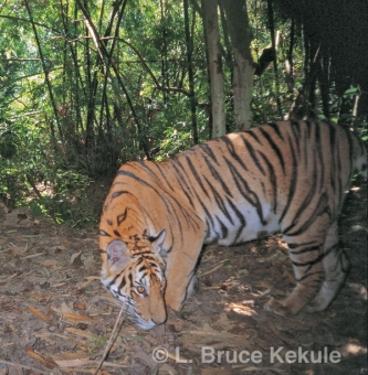 Indochinese tiger by the Phetchaburi River