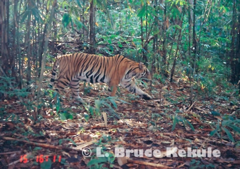 Indochinese tiger in Sai Yok National Park, western Thailand
