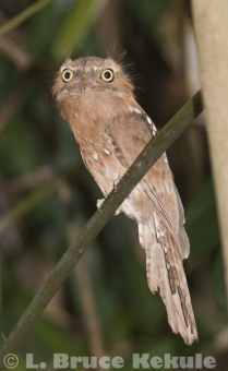 Javan frogmouth near the Phetchaburi River