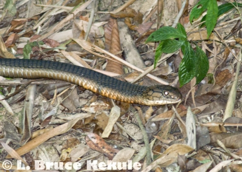 King cobra hunting in Kaeng Krachan