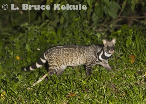 Large Indian Civet