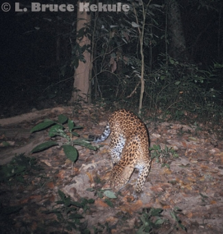 leopard camera trapped in Kaeng Krachan