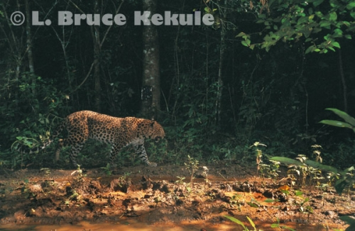 Leopard camera-trapped in Kaeng Krachan National Park, Southwest Thailand