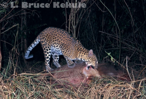 Leopard on sambar kill