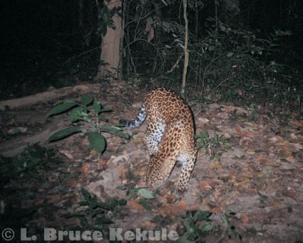 Leopard camera-trapped in Kaeng Krachan National Park
