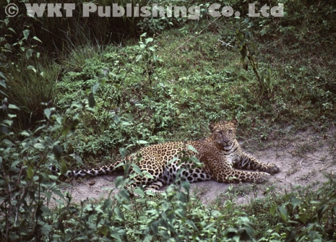 Leopard resting on a trail
