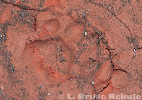 Leopard track in Kaeng Krachan National Park