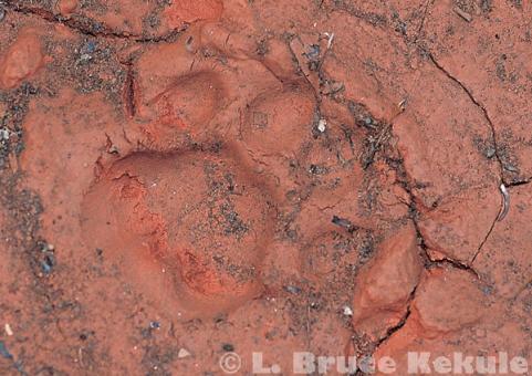 Leopard track in Kaeng Krachan National Park