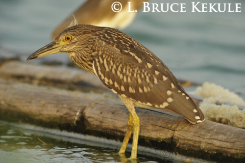 black-capped night-heron