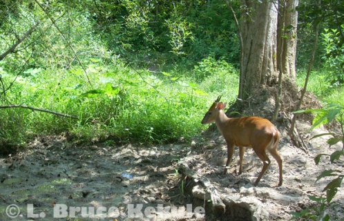 Red muntjac - common barking deer at a mineral deposit in Kaeng Krachan