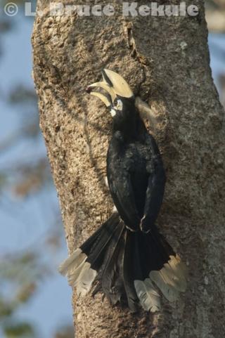 Oriental pied hornbill in Kaeng Krachan