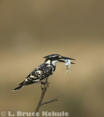 Pied kingfisher in Phetchaburi