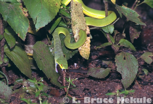 Green pit-viper swallowing a skink in Kaeng Krachan