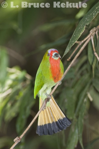 Red-bearded Bee-eater in Kaeng Krachan